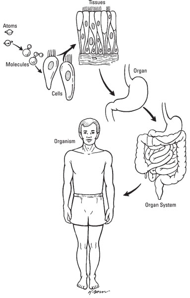 The 5 Anatomical Levels of the Human Body - dummies