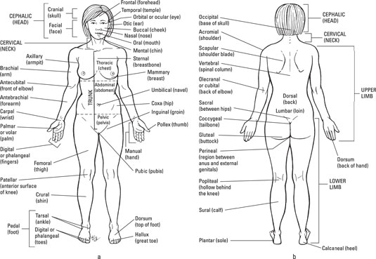 The Anatomical Regions Of The Body Dummies