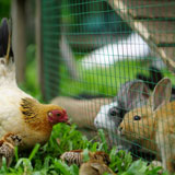 homesteading rabbits