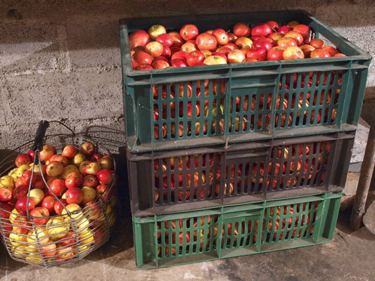 storing apples on the homestead
