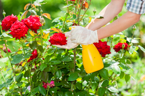 Attirant How To Take Care Of Roses