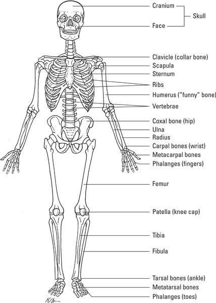 How The Skeletal System Works Dummies