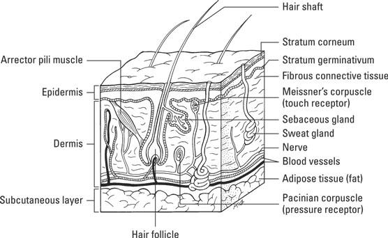 DIAGRAM Face Skin Medical Terminology Diagrams FULL ...