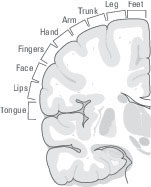 The skin map on the somatosensory cortex.